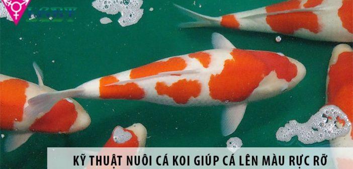 Kỹ thuật nuôi cá koi giúp cá lên màu rực rỡ