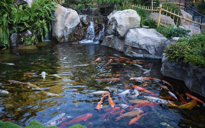 Chuẩn bị hồ nuôi tốt sẽ giúp cá koi lên màu tốt