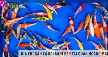 Địa chỉ bán cá Koi mini đẹp, giá rẻ tại quận Hoàng Mai