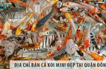 Địa chỉ bán cá Koi mini đẹp, giá rẻ tại quận Đống Đa
