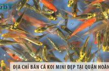 Địa chỉ bán cá Koi mini đẹp, giá rẻ tại quận Hoàn Kiếm